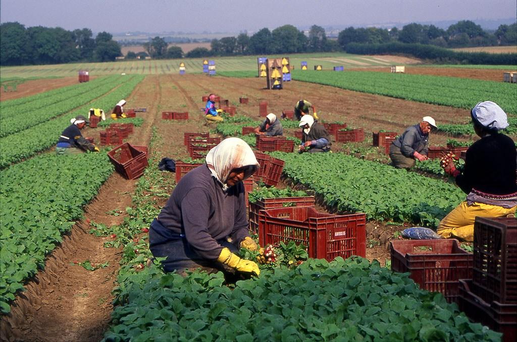 Seasonal workers pulling radish on an organic farm in Kent