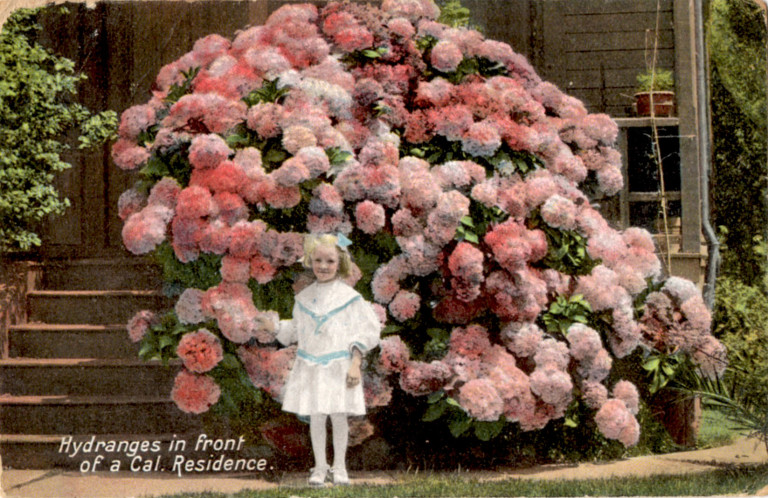 """Hydrangeas in front of a California residence."" ca. 1910."