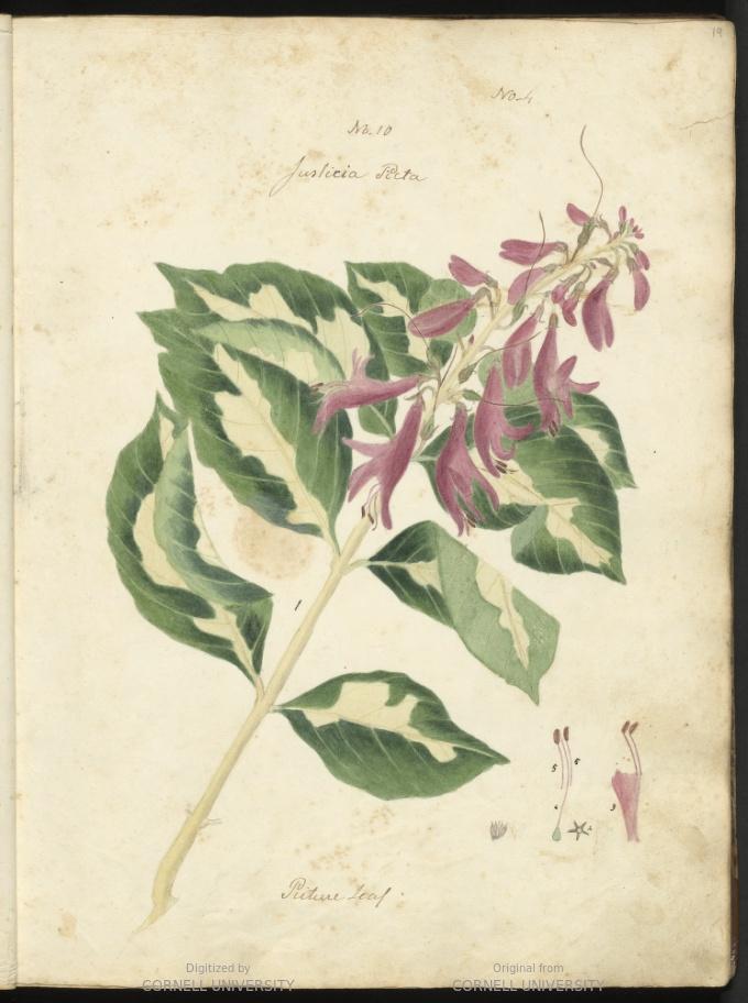 Justicia picta leaf. Number 10.