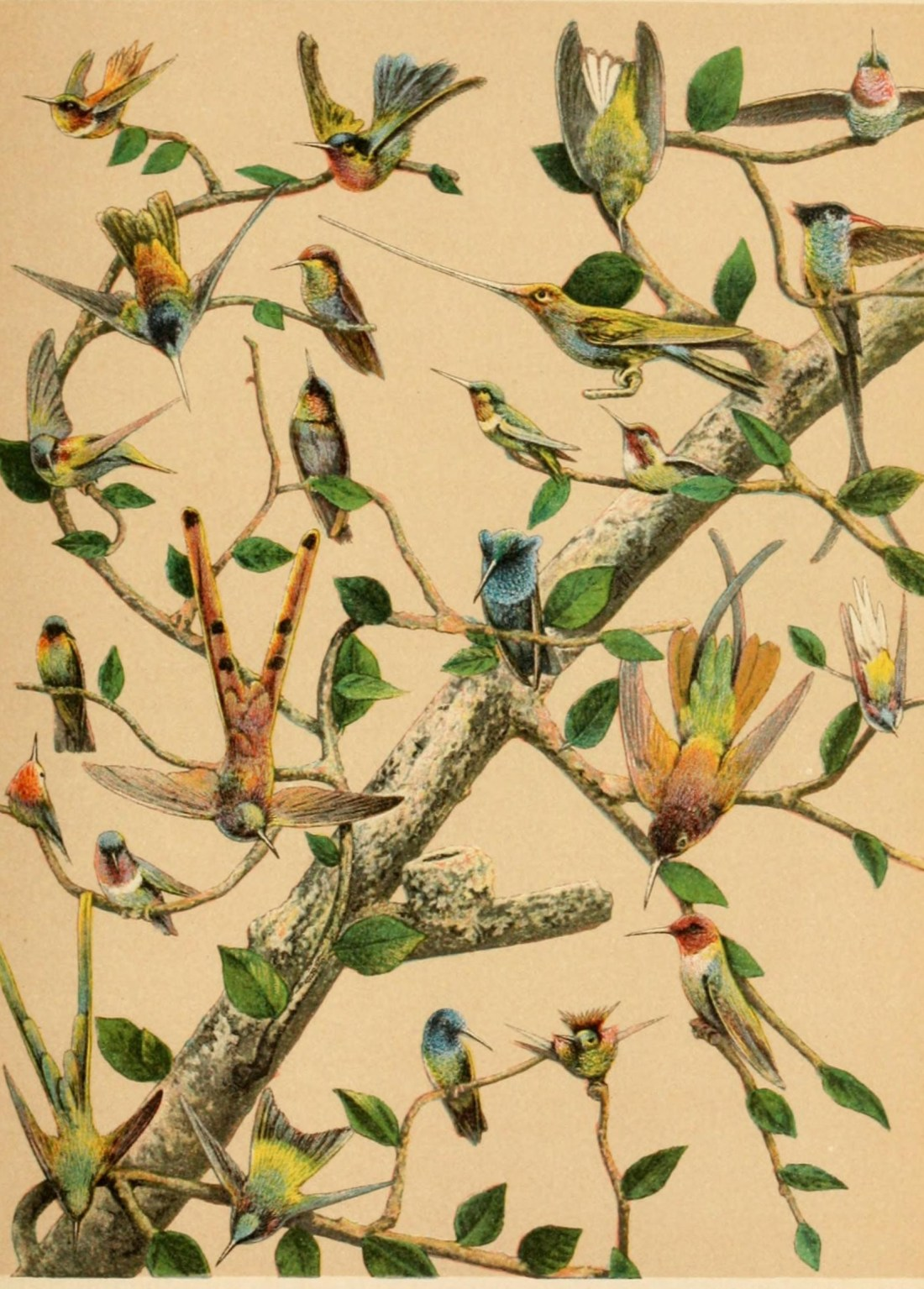 """""""Humming birds."""" Paine. Page 809. Plate 11."""