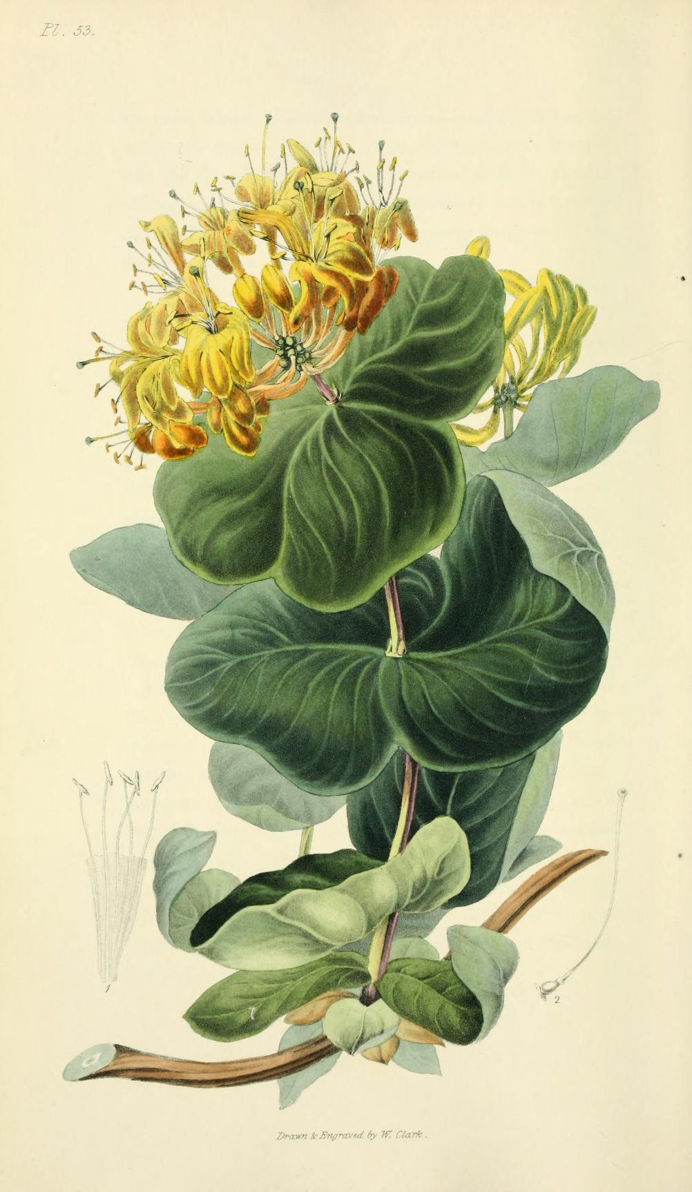"""""""Bright Yellow Honeysuckle."""" Plate 53. Page 225."""