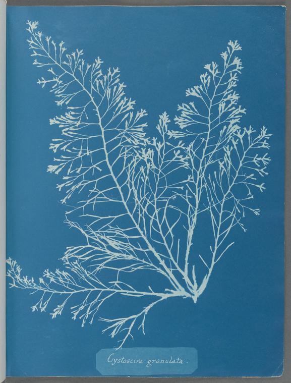 """""""Cystoseira granulata."""""""