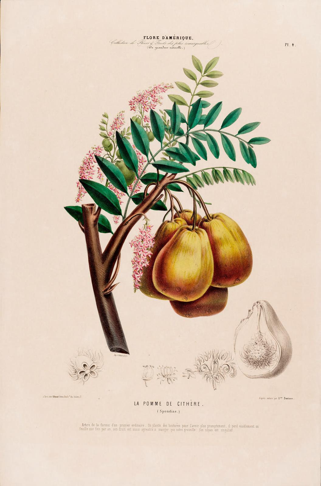"""""""La Pomme de Cithere"""" (spondias). Plate 4."""