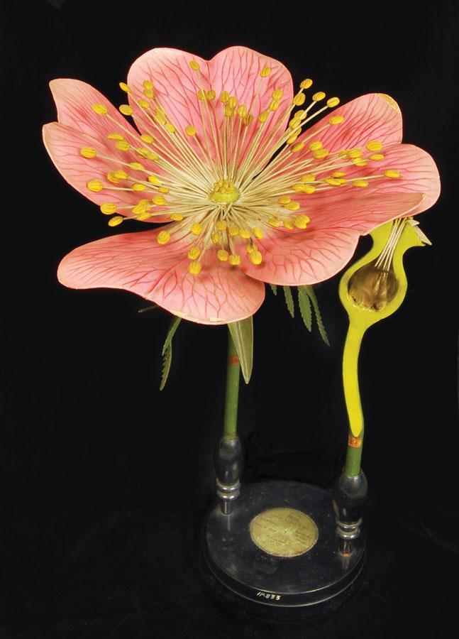 """""""Rosa canina,"""" Botanical model. 1875-98."""