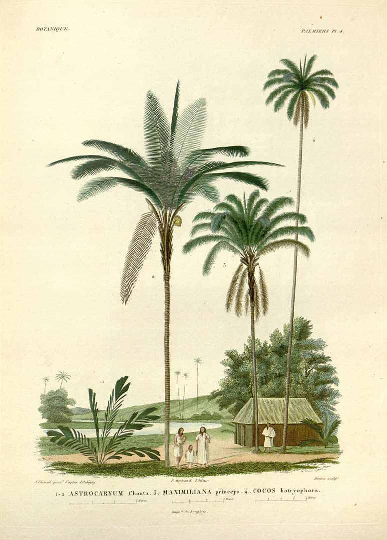 """""""Botanique Palmiers."""" Plate 4."""