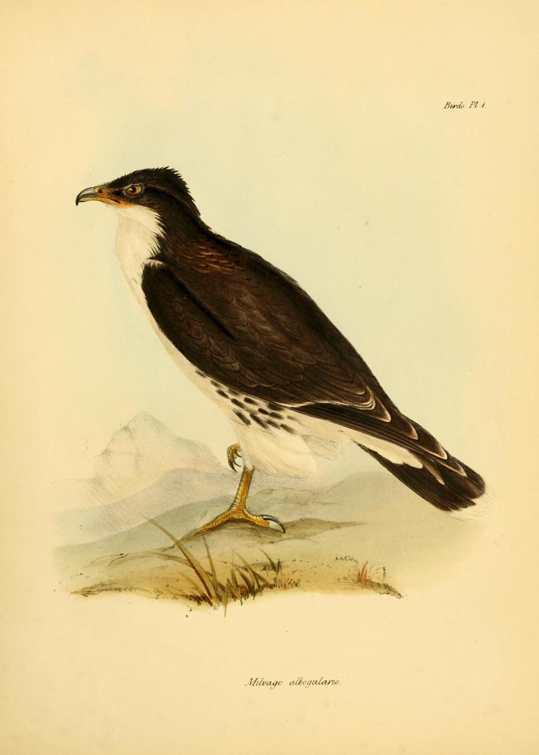 """Milvago albogularis"" (White-throated Caracara). Plate II, page 35."