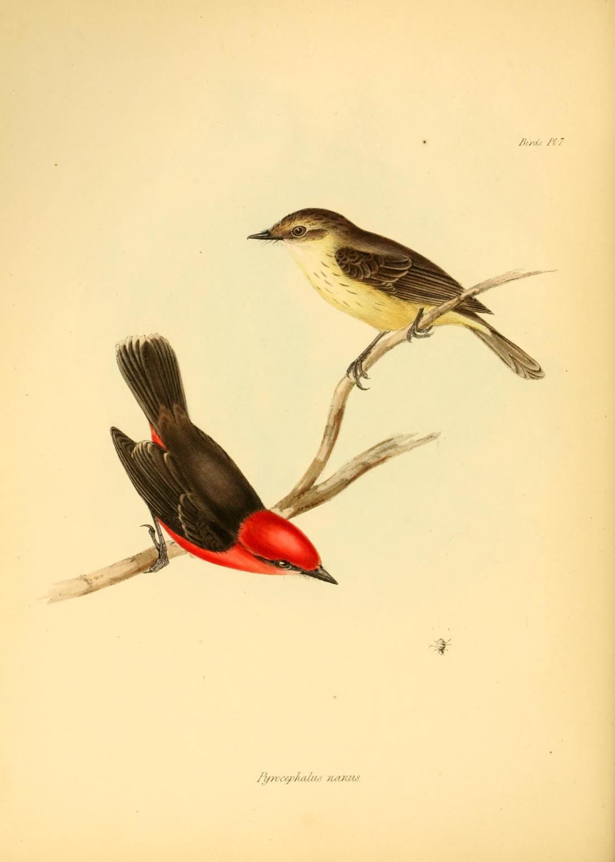 """Pyrocephalus Nanus"" (Darwin's flycatcher). Plate 7, Page 84."