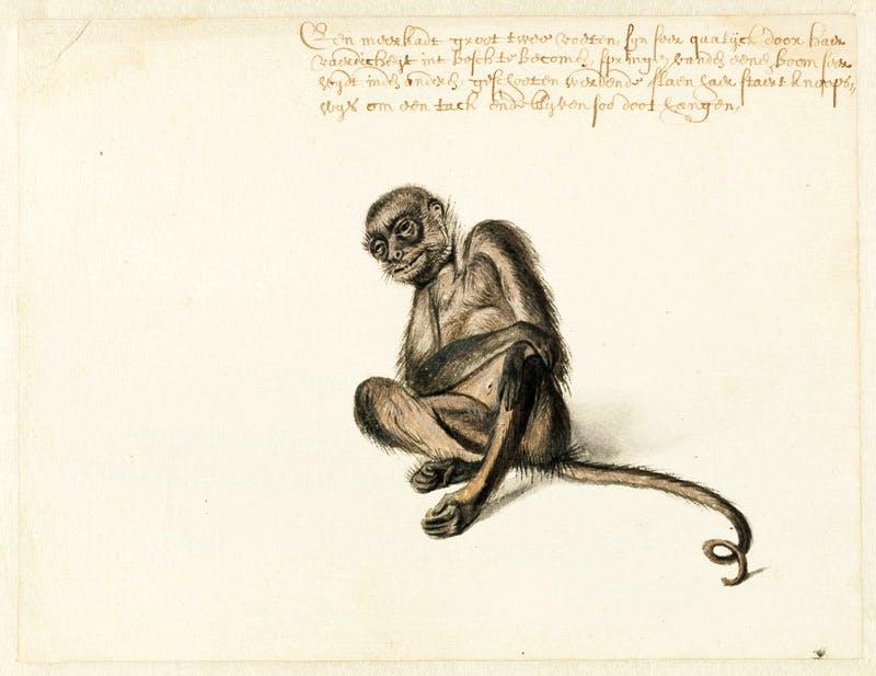Slingeraap-Frans-Post-1612–1680-ca.-1638-1644.-Noord-Hollands-Archief-Haarlem-10