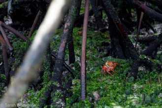 Tortuga Bay - Mangroves & crab