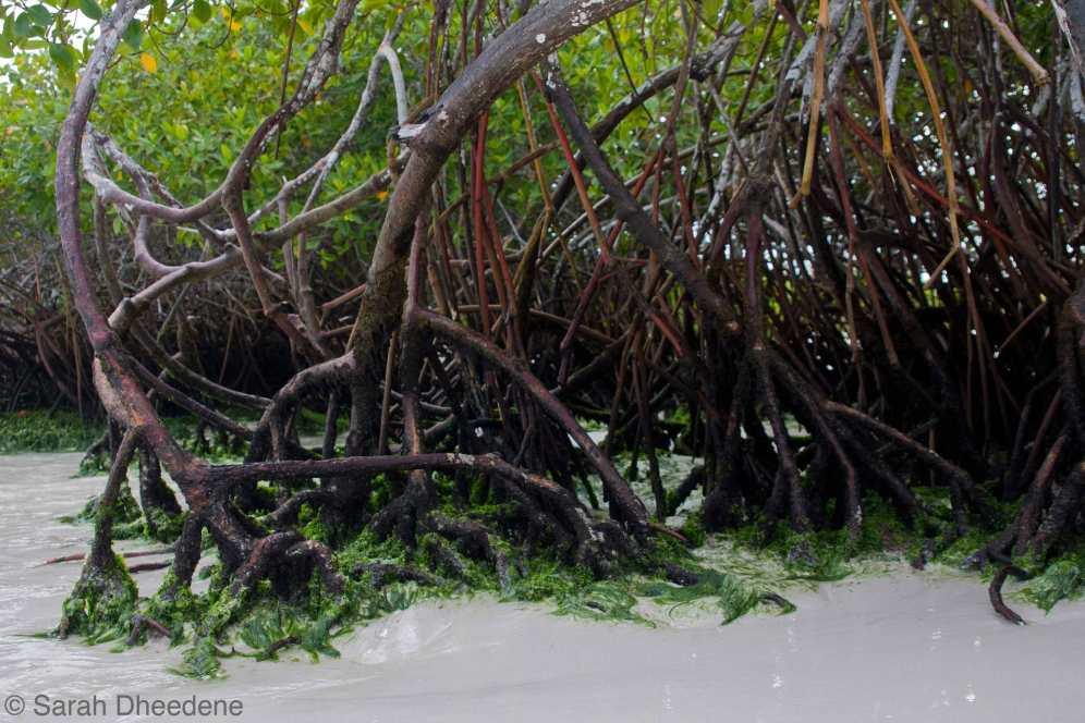Tortuga Bay - Mangroves