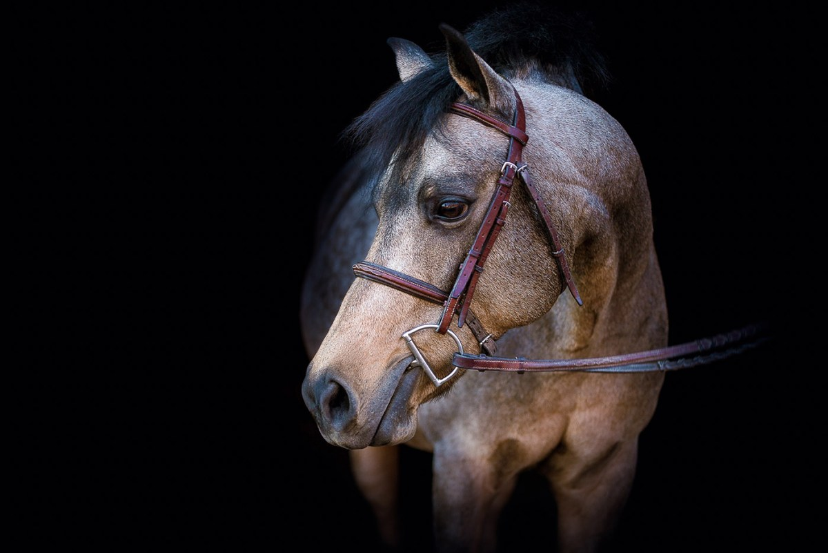 equine portrait of a roan pony with head turned on black background