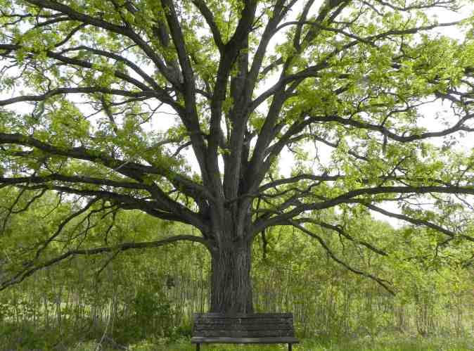 oak-tree-with-bench