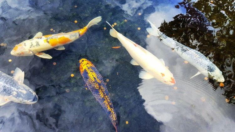 london-koi-pond-garden