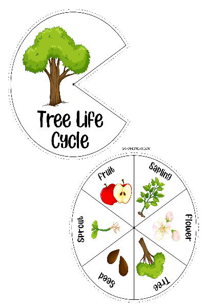 The Tree Life Cycle from Seed to Shade