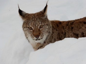 Female lynx