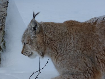 Male Lynx