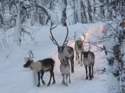 Fantastic antlers on the male Reindeer