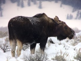 Young Bull Moose Grand Teton National Park