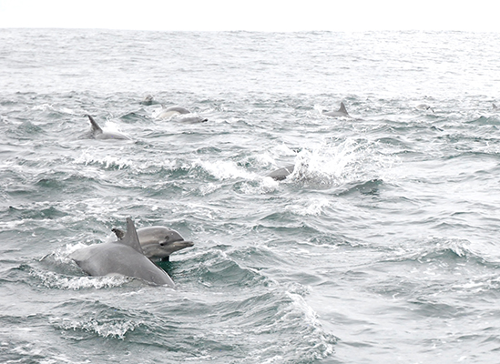 Long-beaked common dolphins in Monterey Bay