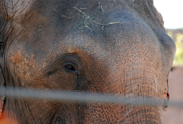 Elephant at the Denver Zoo