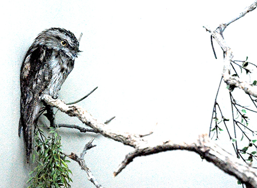 Frogmouth at the Denver Zoo