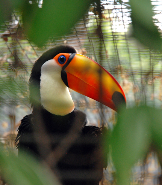 Toucan at Ft. Worth Zoo