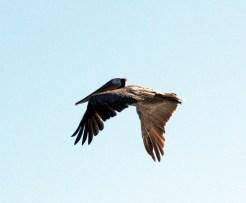 Pelican at Bodega Bay, CA