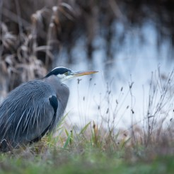 A great blue heron in the foreground, water in the background.