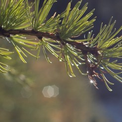 a larch branch with a droplet of water containing a sunstar