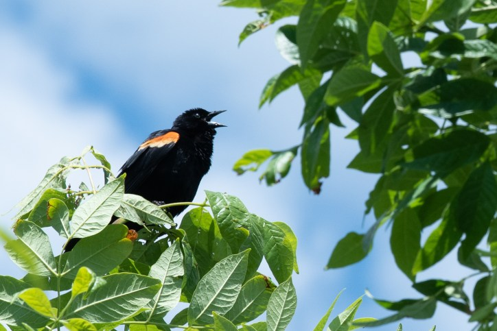 A red-winged blackbird sitting in a tree with its mouth open
