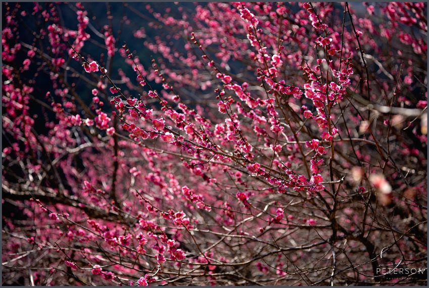 Ume Plum Blossoms in Japan