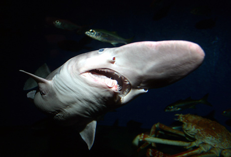 460goblin-shark_big