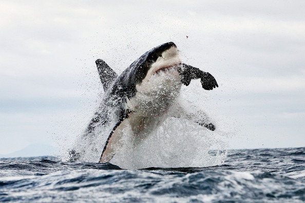 Incredible+images+jumping+great+white+sharks+ijPLxm85oc_l