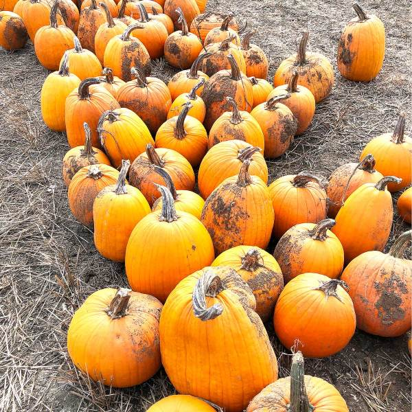 Life Is Sweet October 2019 - pumpkins in the pumpkin patch at Basses' Pumpkin Farm.