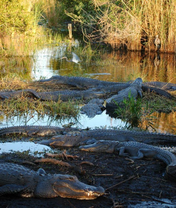 Everglades NP alligators STE Elizabeth Queen