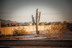 Saguaro in Phoenix.
