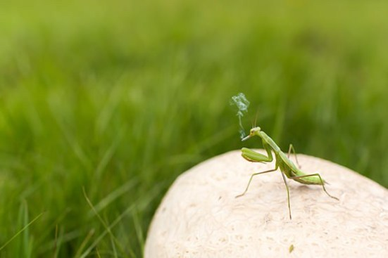 praying mantis smoking ciggy