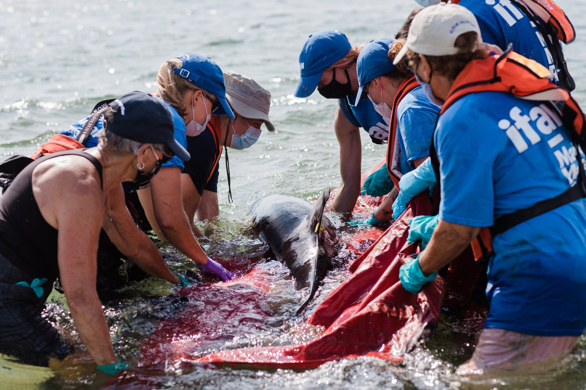 releasing a dolphin