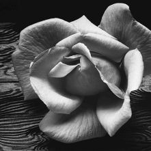 rose-and-driftwood-Ansel-Adams