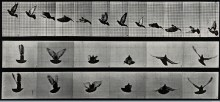 V0048784 A cockatoo flying. Photogravure after Eadweard Muybridge, 18 Credit: Wellcome Library, London. Wellcome Images images@wellcome.ac.uk http://wellcomeimages.org A cockatoo flying. Photogravure after Eadweard Muybridge, 1887. 1887 By: Eadweard Muybridge and University of Pennsylvania.Published: 1887 Copyrighted work available under Creative Commons Attribution only licence CC BY 4.0 http://creativecommons.org/licenses/by/4.0/