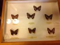 Nabokov'un meşhur kelebekleri.
