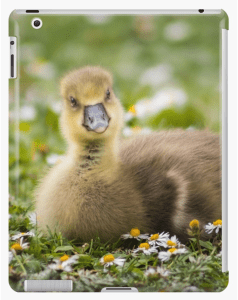Close up of a gosling bird looking towards the camera, illustrated as an example tablet case.
