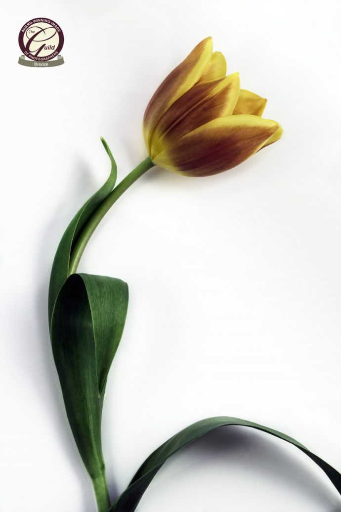 Single tulip flower set against white background.