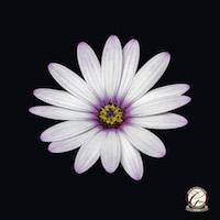 Award Winning Photography - Single African daisy floral art