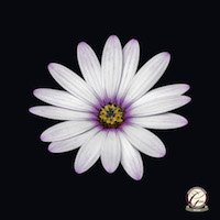Award Winning Photography - Single African daisy floral art