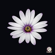 Beautiful Flower Photography - Single African Daisy Flower set against a black background