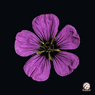 Beautiful flower photography -Single pink geranium flower set against a black background