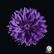 Beautiful flower photography - Single purple cornflower set against a black background.