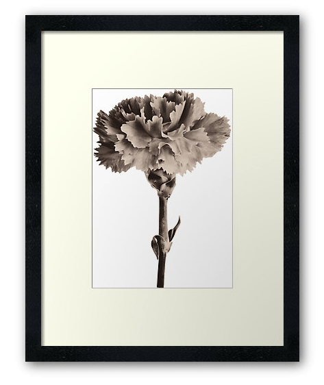 sepia carnation floral wall art