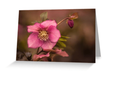 Christmas Rose greetings cards